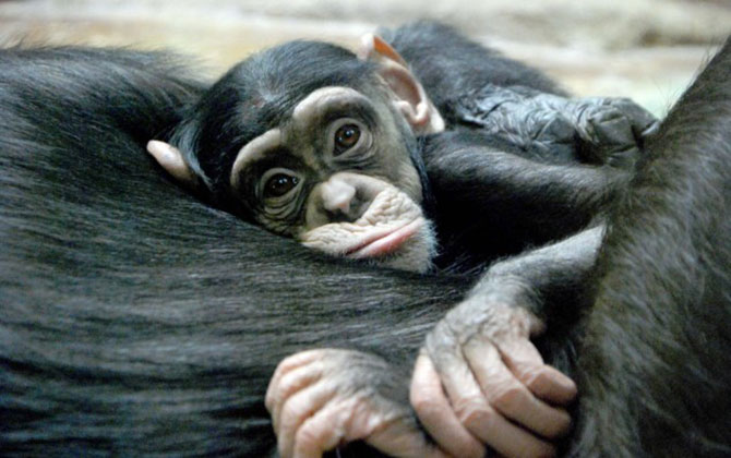 Ape-cuddling.jpg