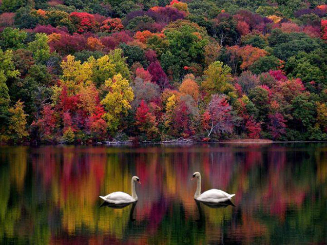 autumn-swans.jpg