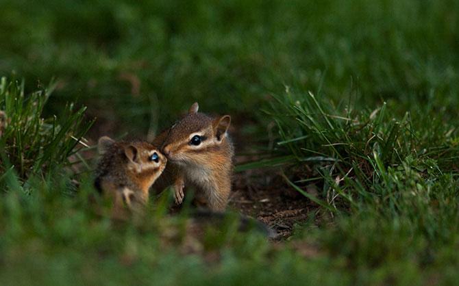 Chipmunks Kissing