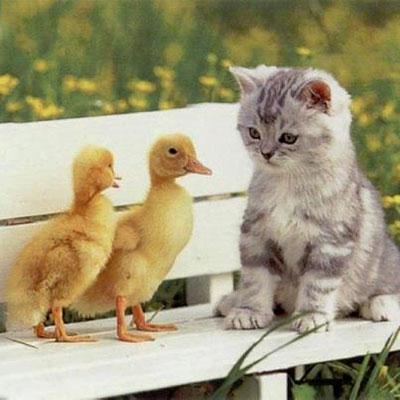 Ducks with Kitten